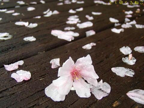春のあらし さくら散る