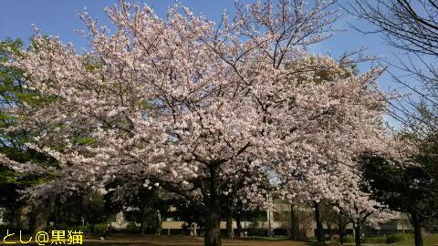 再び 近所の公園 桜 ソメイヨシノ
